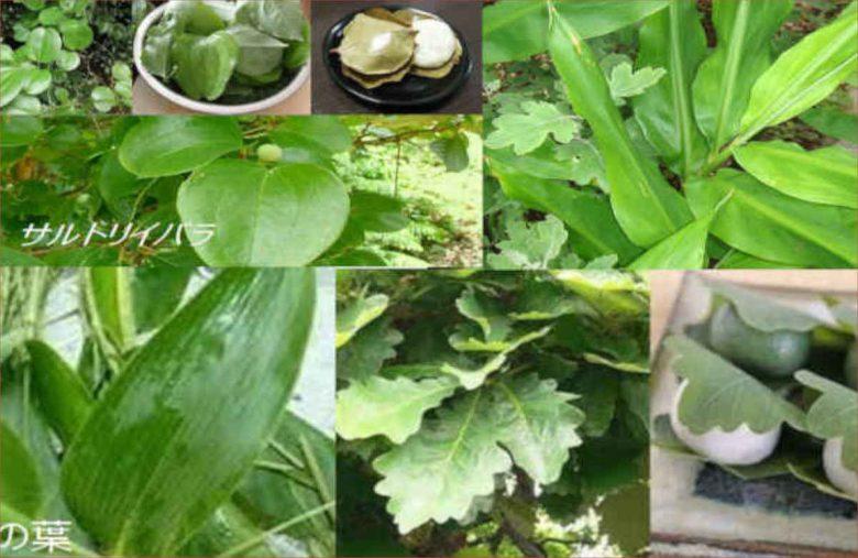 茗荷の葉っぱ・サルトリイバラの葉っぱで郷土食を包む